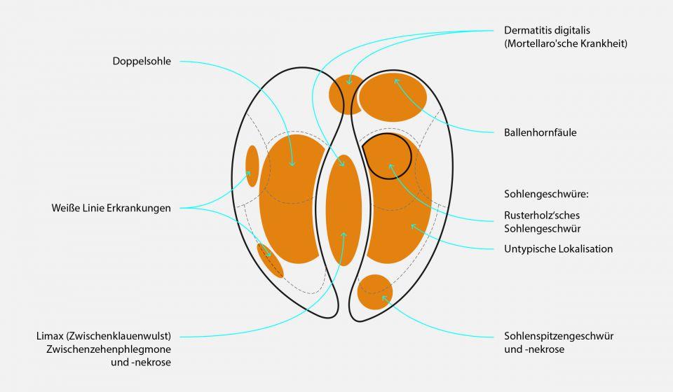 Die wichtigsten Klauenerkrankungen und ihre Lokalisation